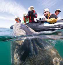 Up close to Gray Whales in Mexico's Sea of Cortez