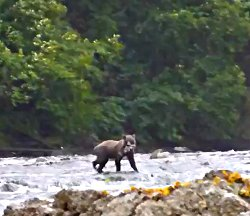 A bear fishing in a nearby stream.