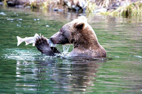 Bear Kissing Salmon
