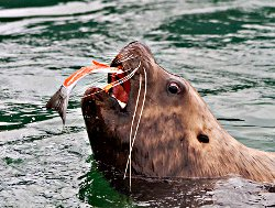 Sea Lion feeding on a Salmon