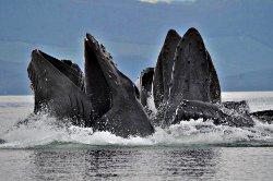 Whales Bubblenet Feeding