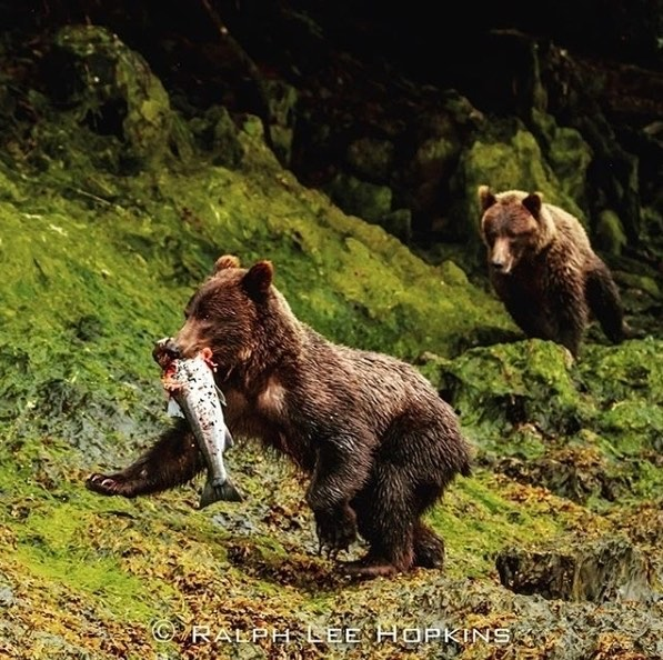 Brown bears with salmon