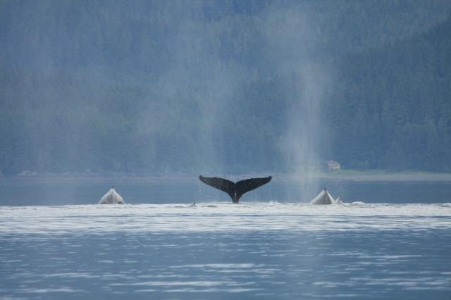 alaska-whales