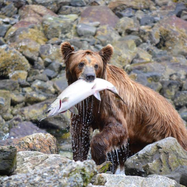 An Alaskan Brown Bear with a Salmon in his mouth