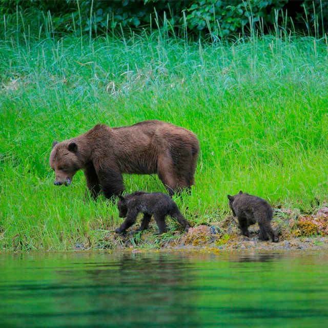 Brown bears foraging